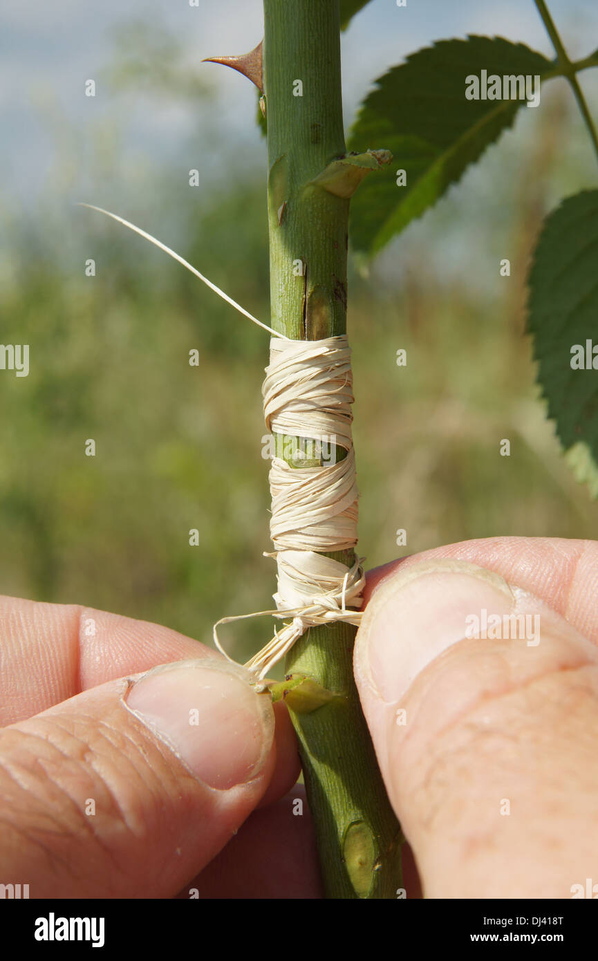 Rosen veredeln, mit Bast verbinden - Stock Image