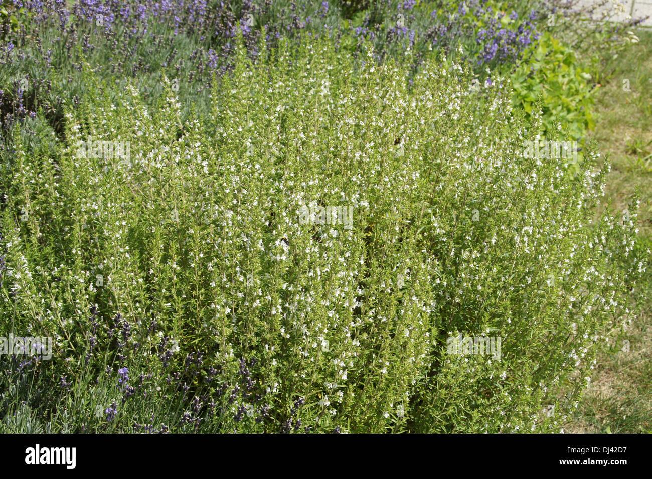 Winter Savory - Stock Image