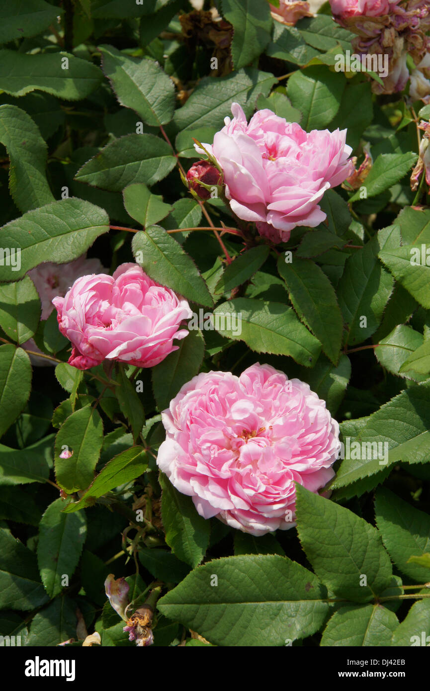 Rosa Jaques Cartier, Damascener Rose - Stock Image