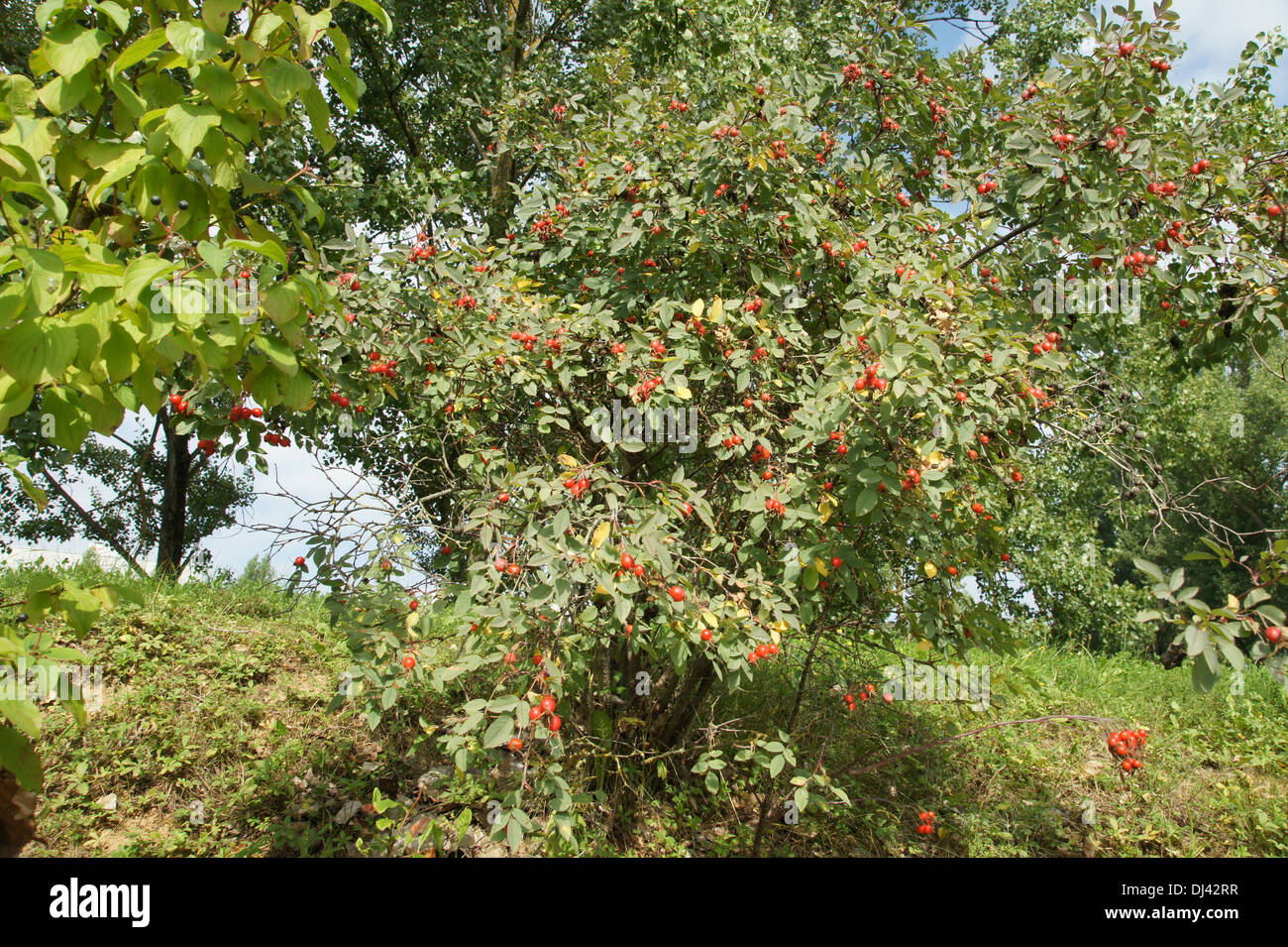 Rosa glauca, Blaue Hechtrose, redleaf rose - Stock Image