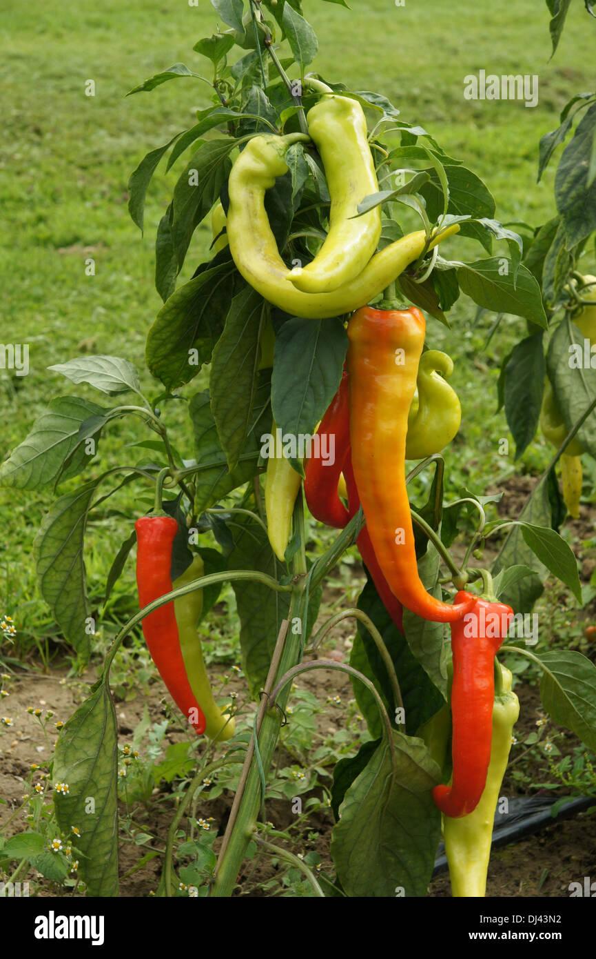 Capsicum annuum, Paprika, red pepper - Stock Image