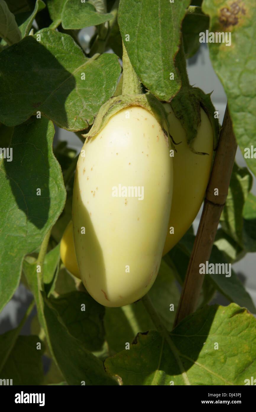 Solanum melongena, Eierfrucht, eggplant Stock Photo