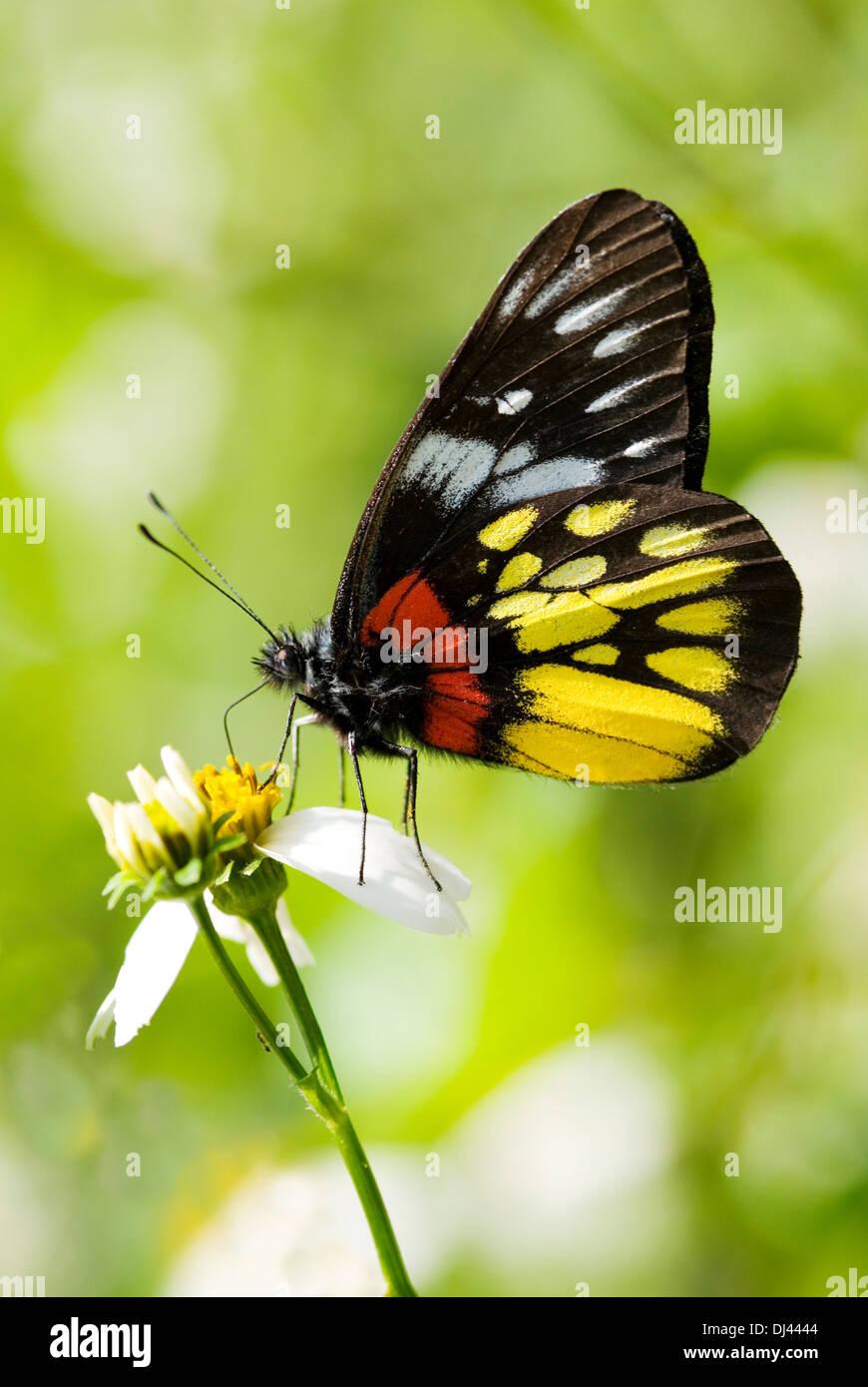 wunderschoener exotischer Schmetterling - Stock Image