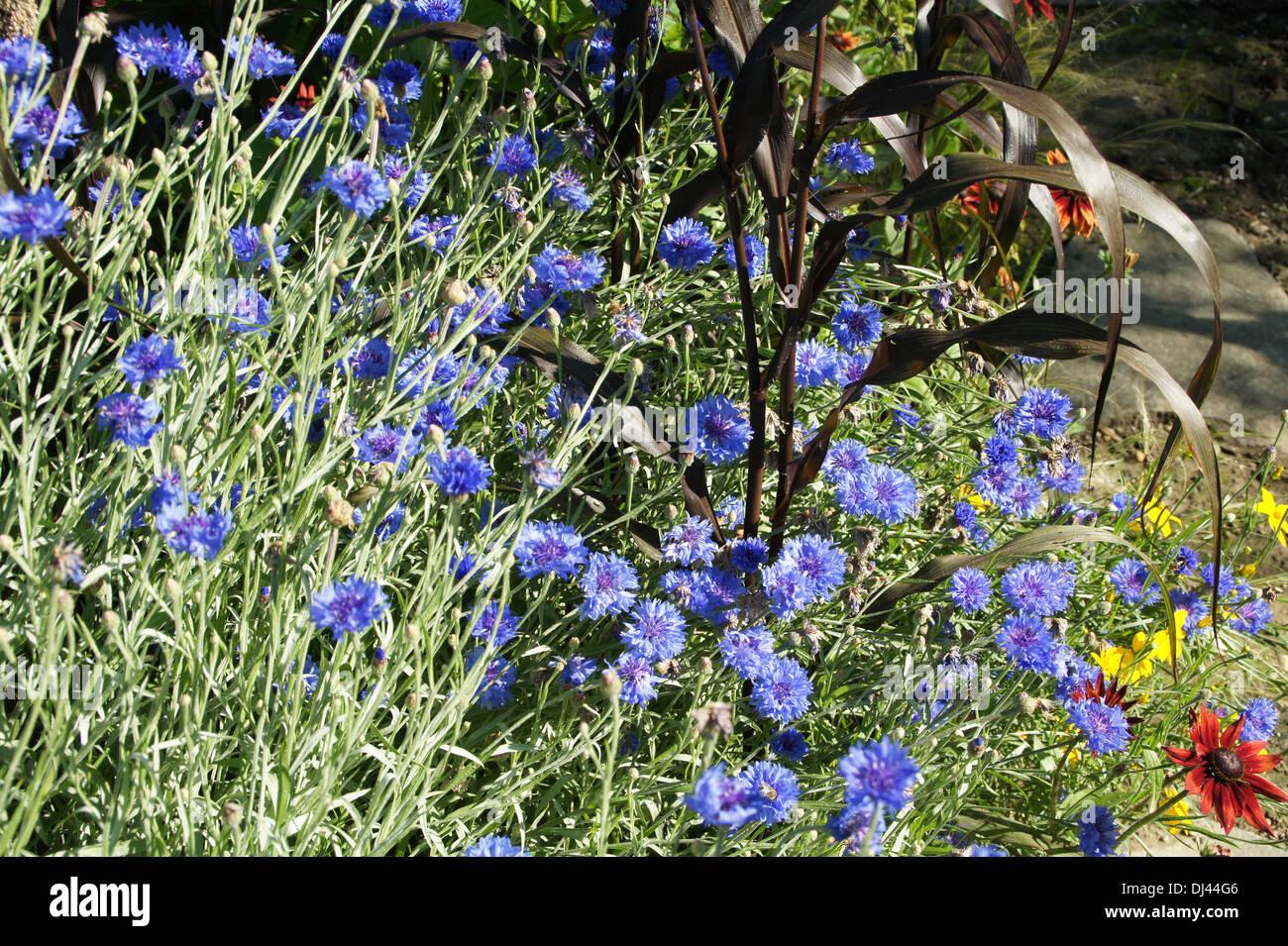 Cornflowers Stock Photo