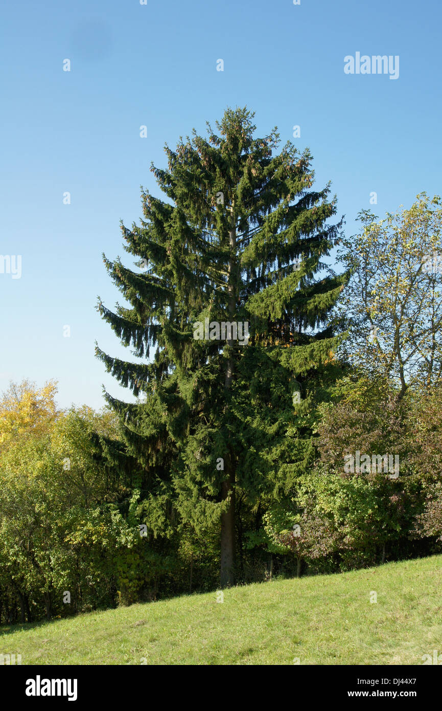 Picea abies, Waldfichte, spruce - Stock Image