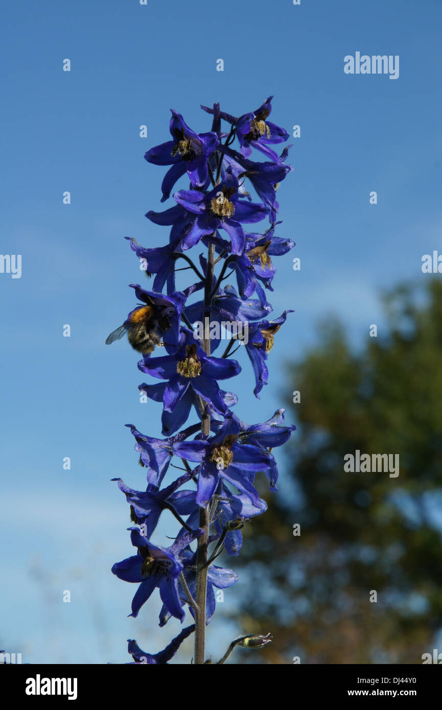 Delphinium maackianum, Rittersporn, larkspur - Stock Image