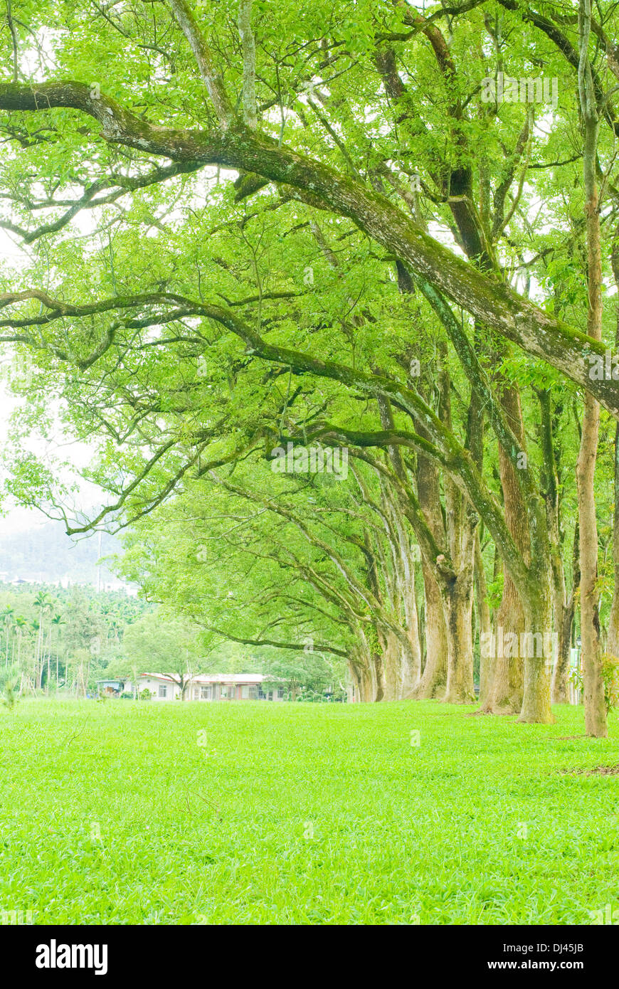 Row of trees and wide grassland - Stock Image