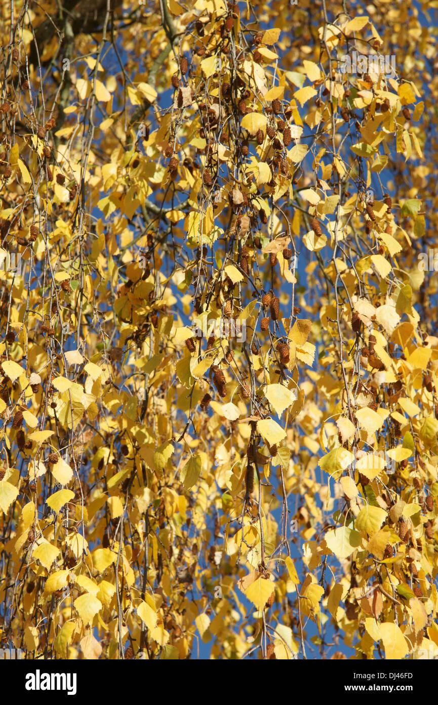 Betula pendula, Hängebirke, birch - Stock Image