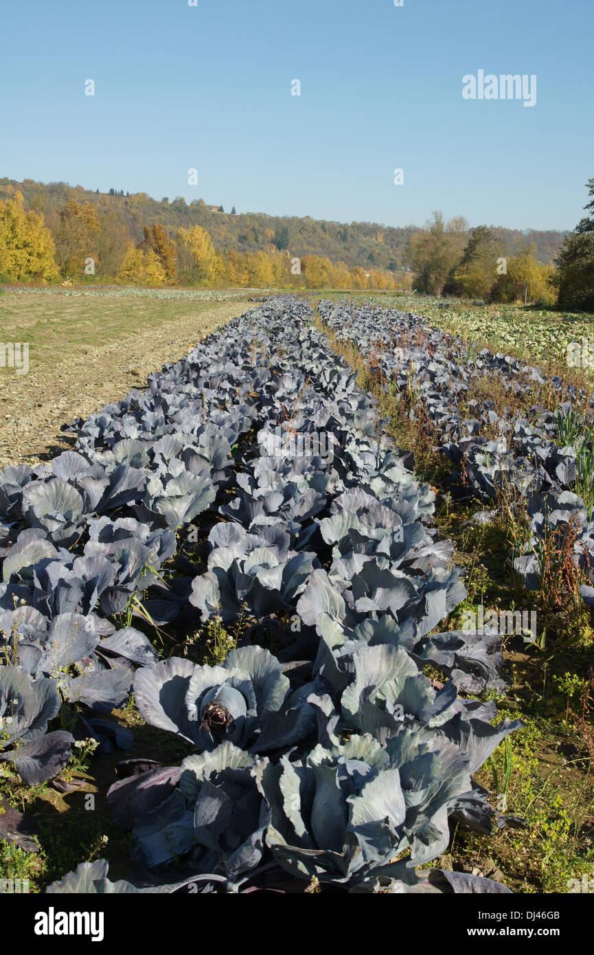 Brassica oleracea, Rotkohl, cabbage - Stock Image