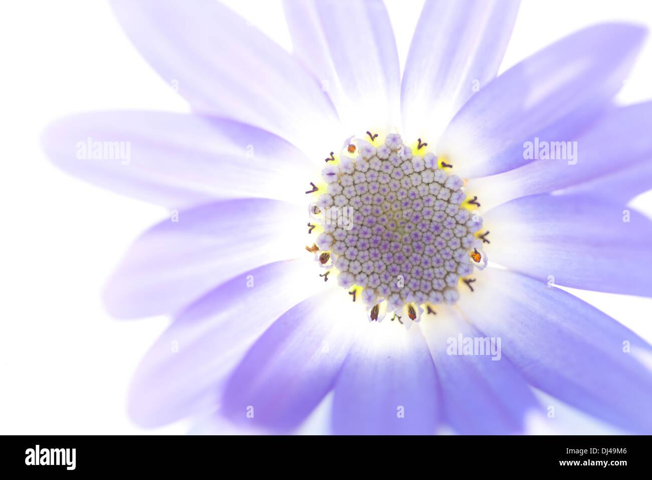 tender senetti bloom before white background - Stock Image
