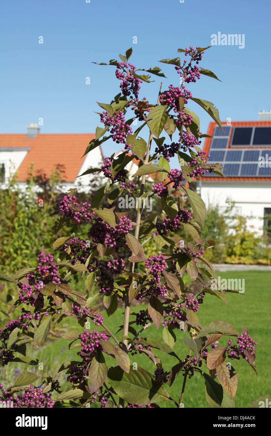 Beautyberry Stock Photo