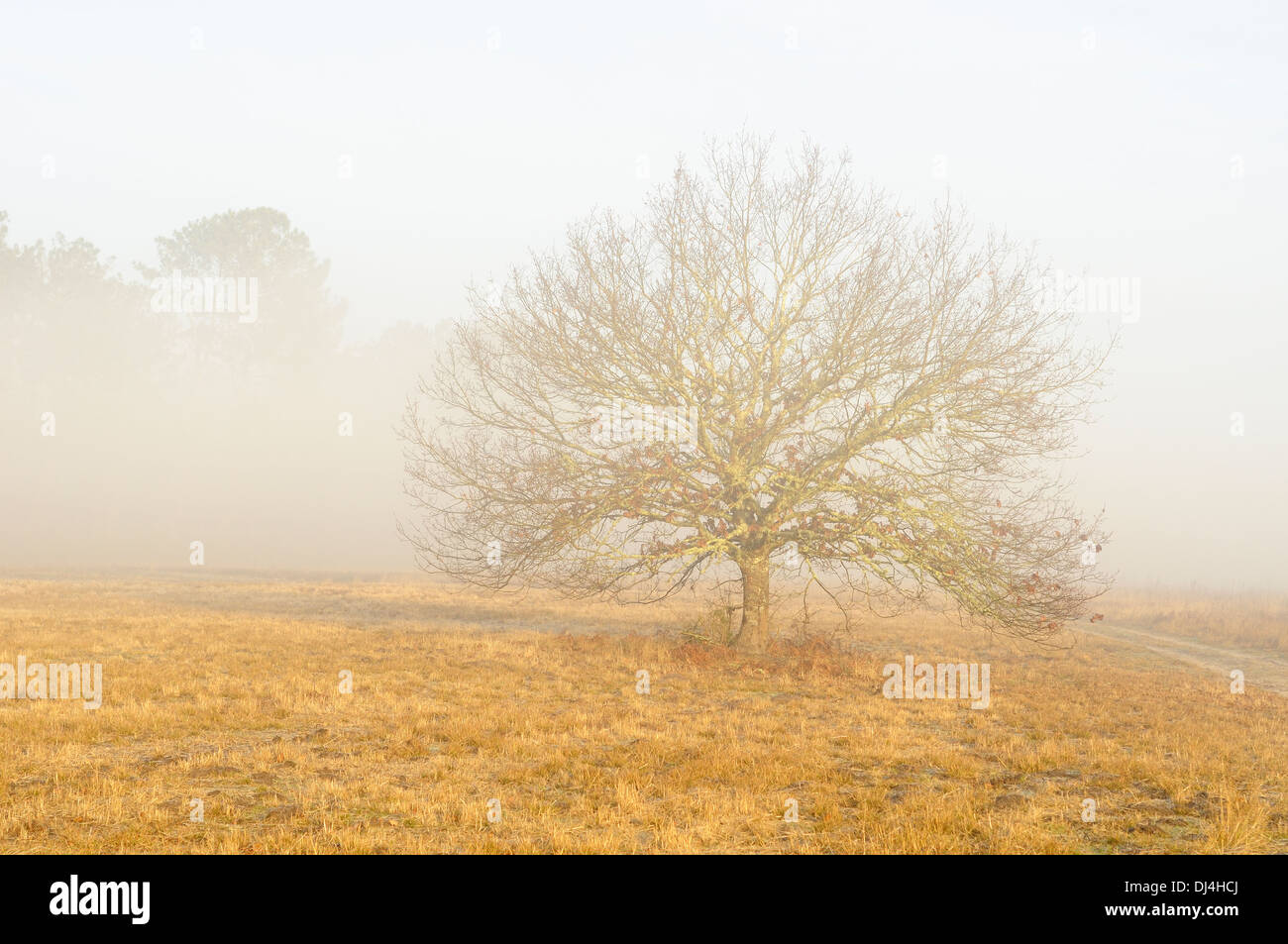 Horizontal portrait of lonely oak tree in mist frozen grass winter in Arjuzanx National Hunting and Wildlife Reserve. Stock Photo