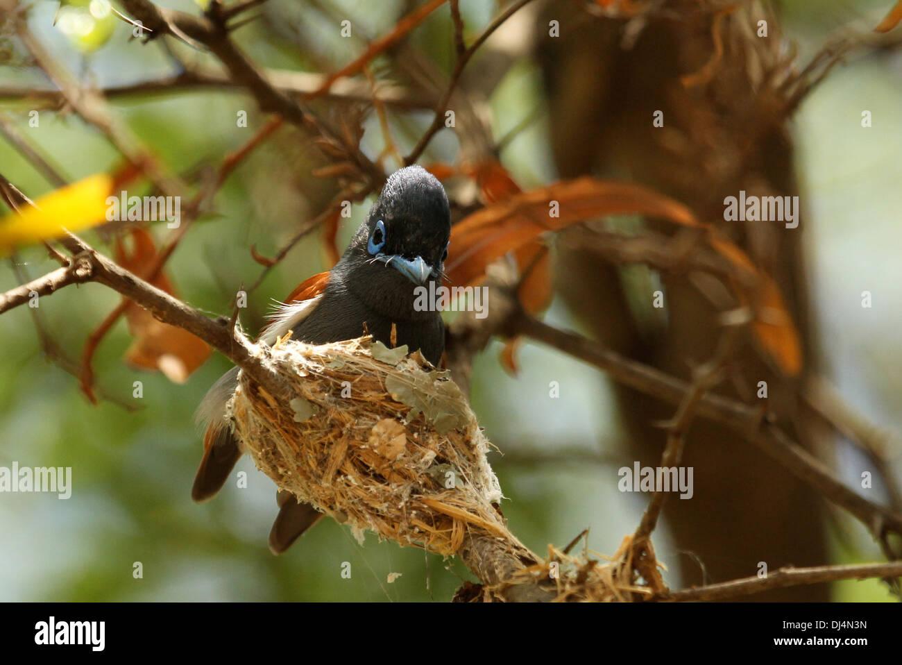 African Paradise Flycatcher at nest Terpsiphone viridis Stock Photo