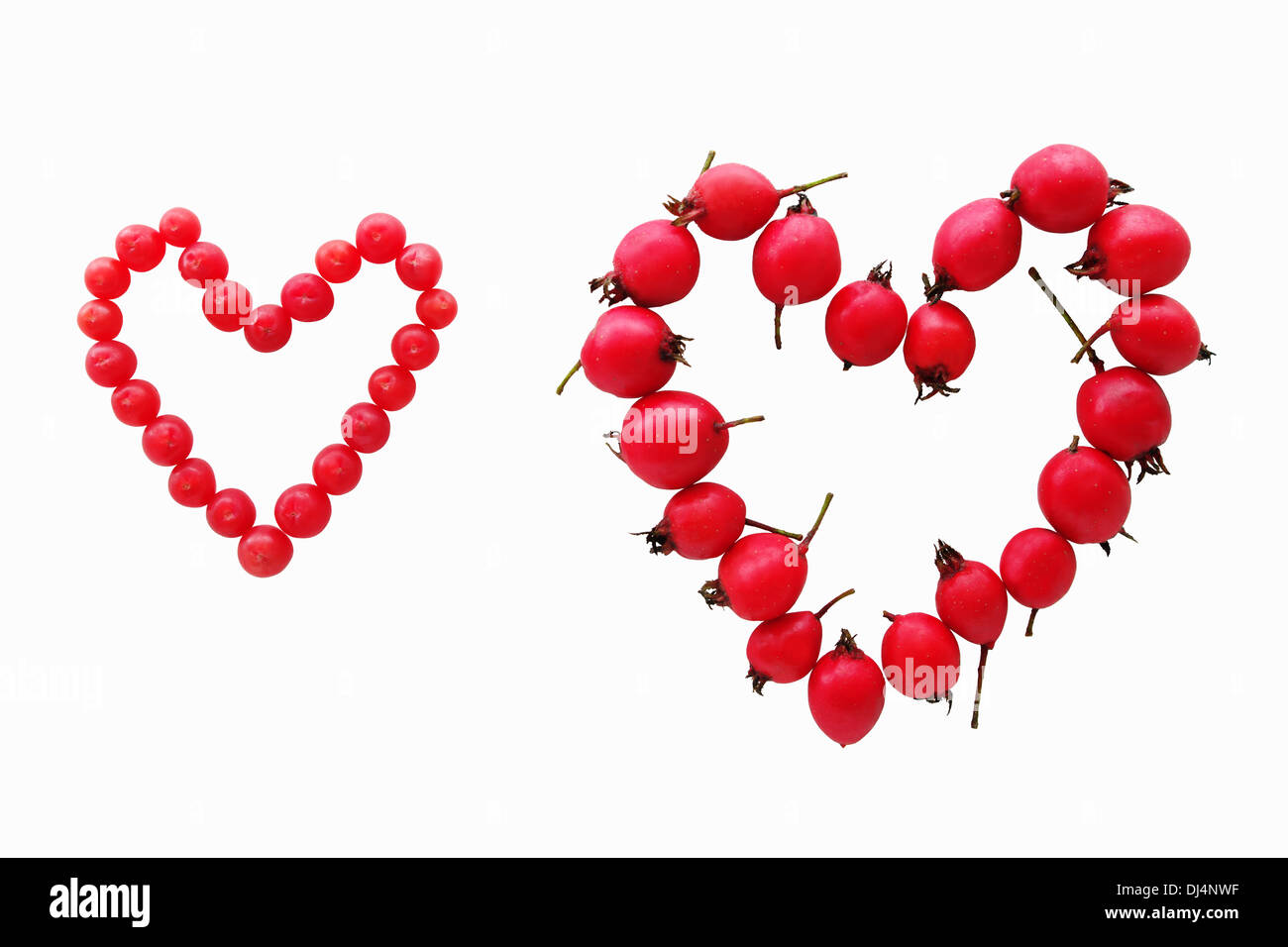 Valentine card concept. Red yew and hawthorn fruits forming two hearts, isolated on white background. - Stock Image