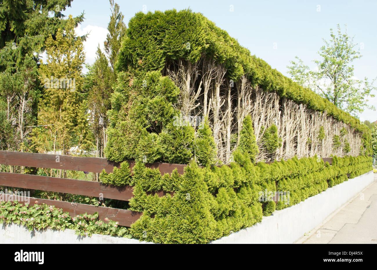 White Cedar, Hedge Stock Photo