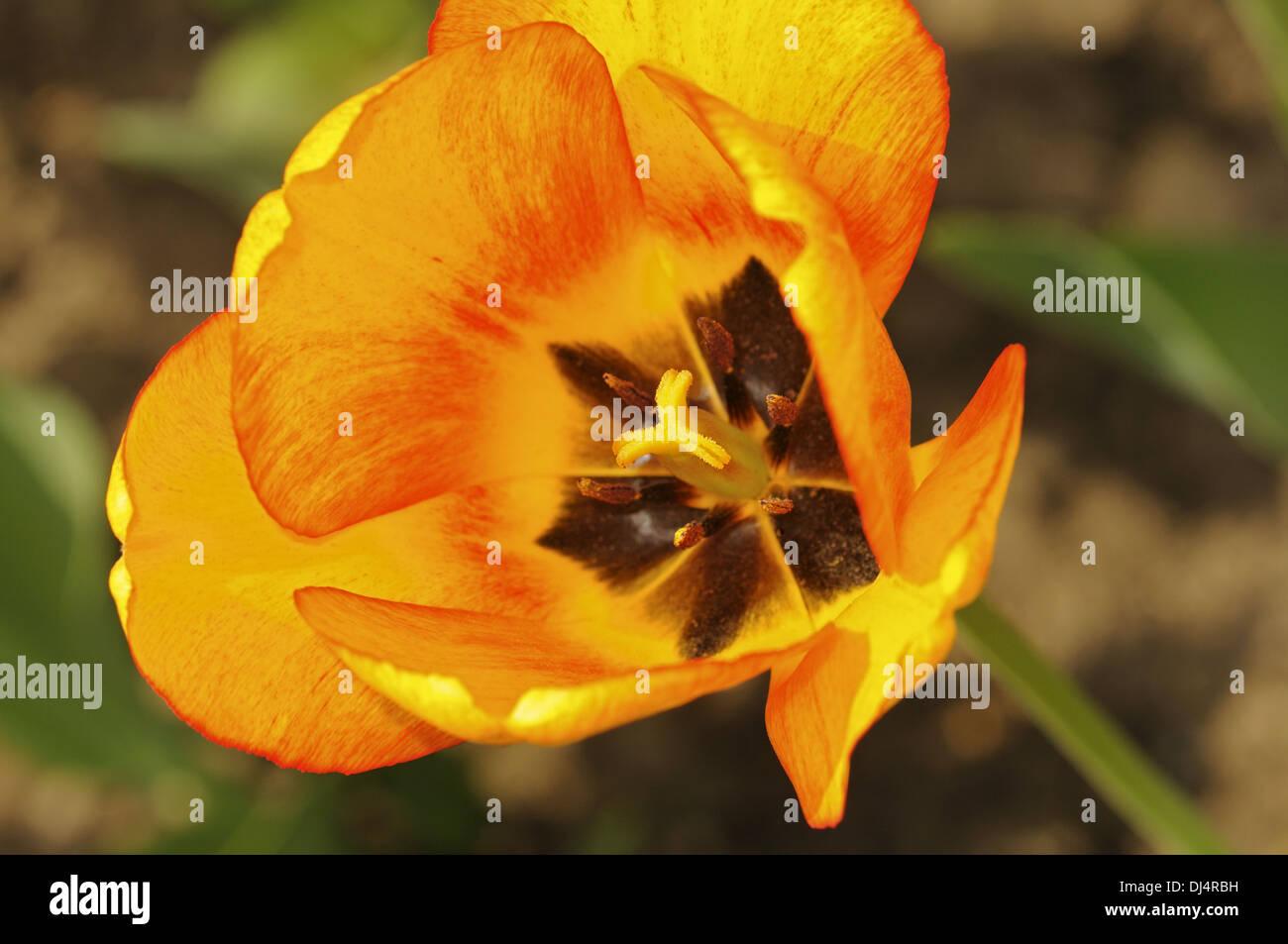 Tulip variety Blushing Apeldoorn - Stock Image