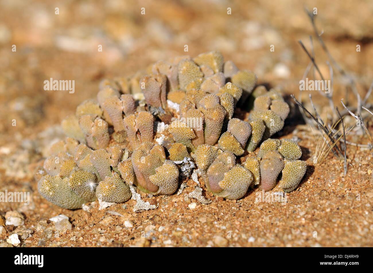 Titanopsis sp., Namakwaland, Südafrika - Stock Image
