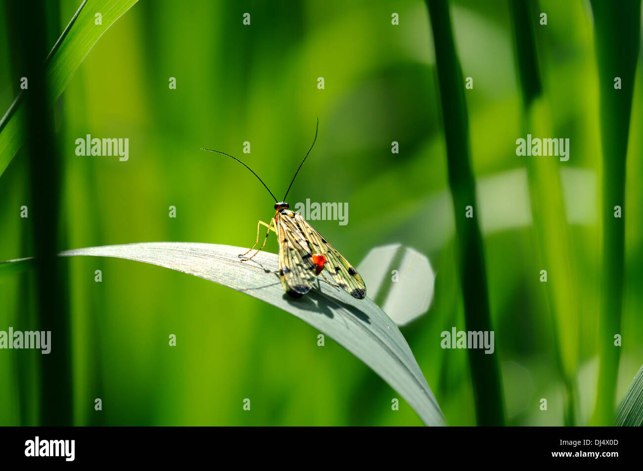 Scorpion fly in the grass - Stock Image