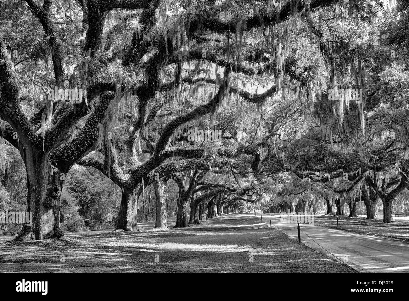 Avenue of Oaks at Boone Hall Plantation in Charleston, South Carolina in black and white - Stock Image