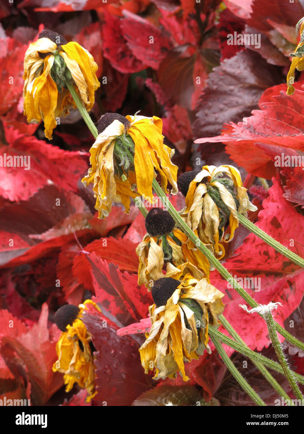 colourful flowers frost dead flower color red yellow Stock Photo ...