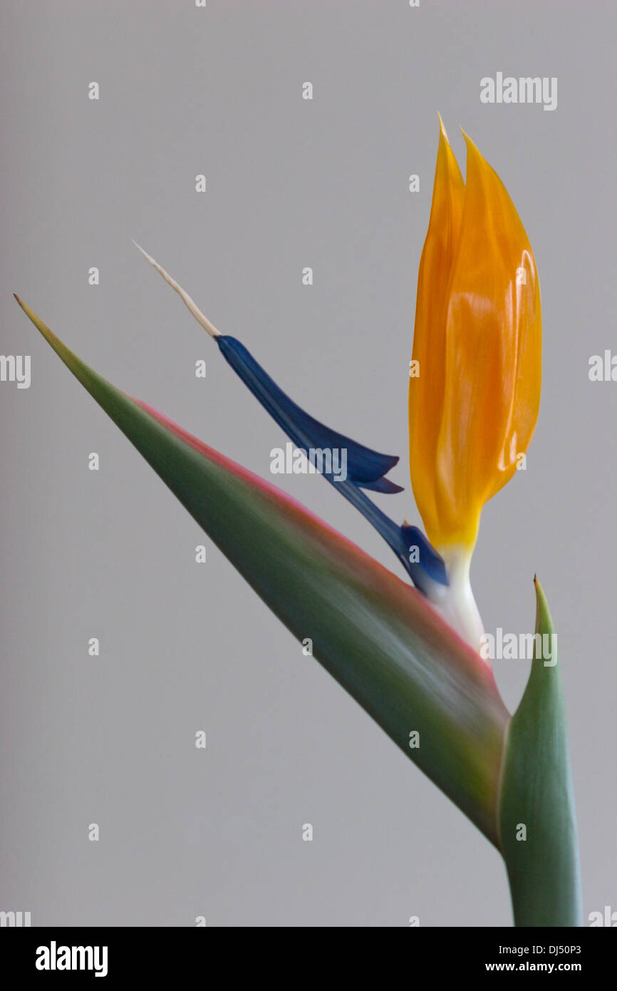 bird of paradise flower Strelitzia - Stock Image