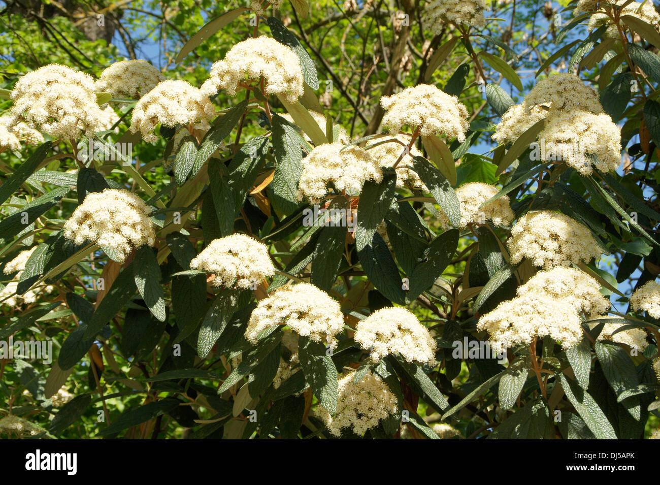 Evergreen Viburnum - Stock Image