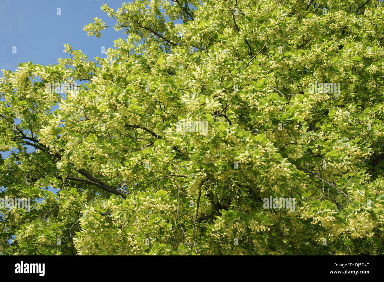 Large-leaved Lime Stock Photo