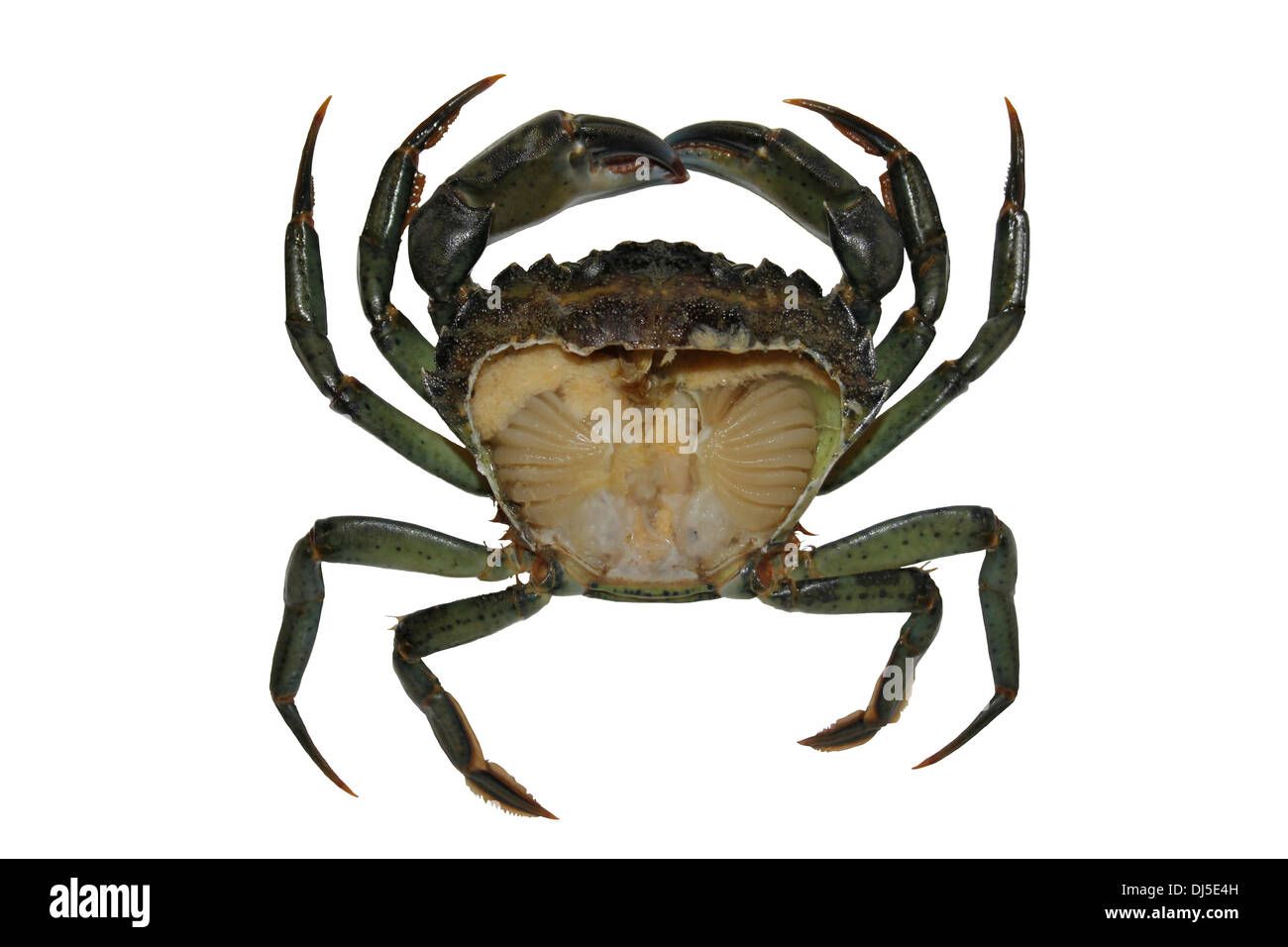 Common Edible Crab Stock Photos & Common Edible Crab Stock Images ...