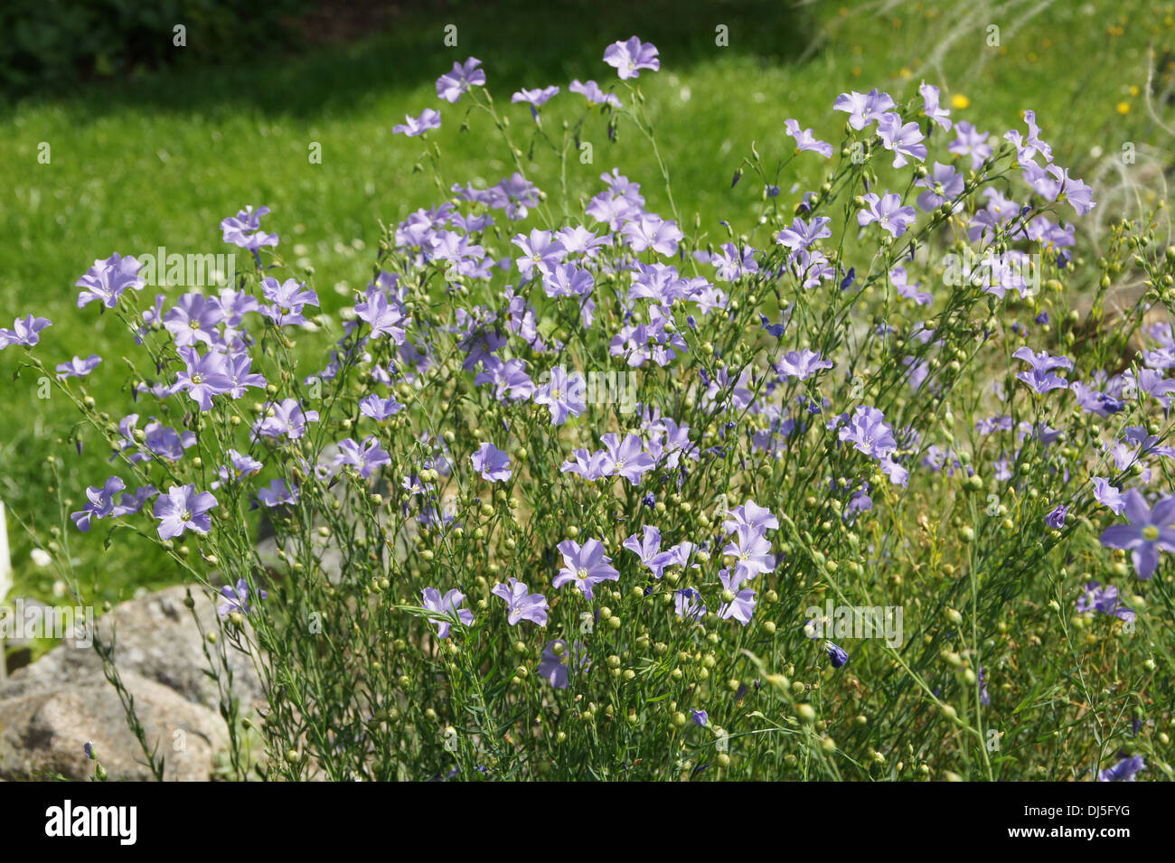 Blue Flax - Stock Image