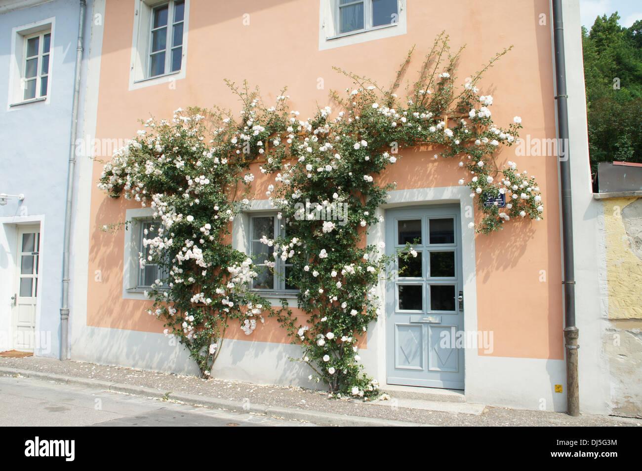 Rambler Rose Stock Photo