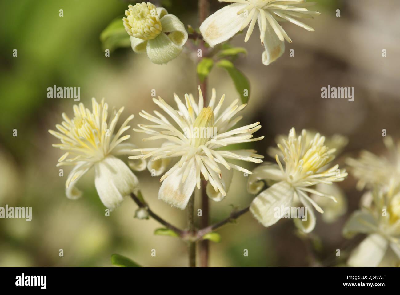 Vitalba Clematis, Clematis - Stock Image