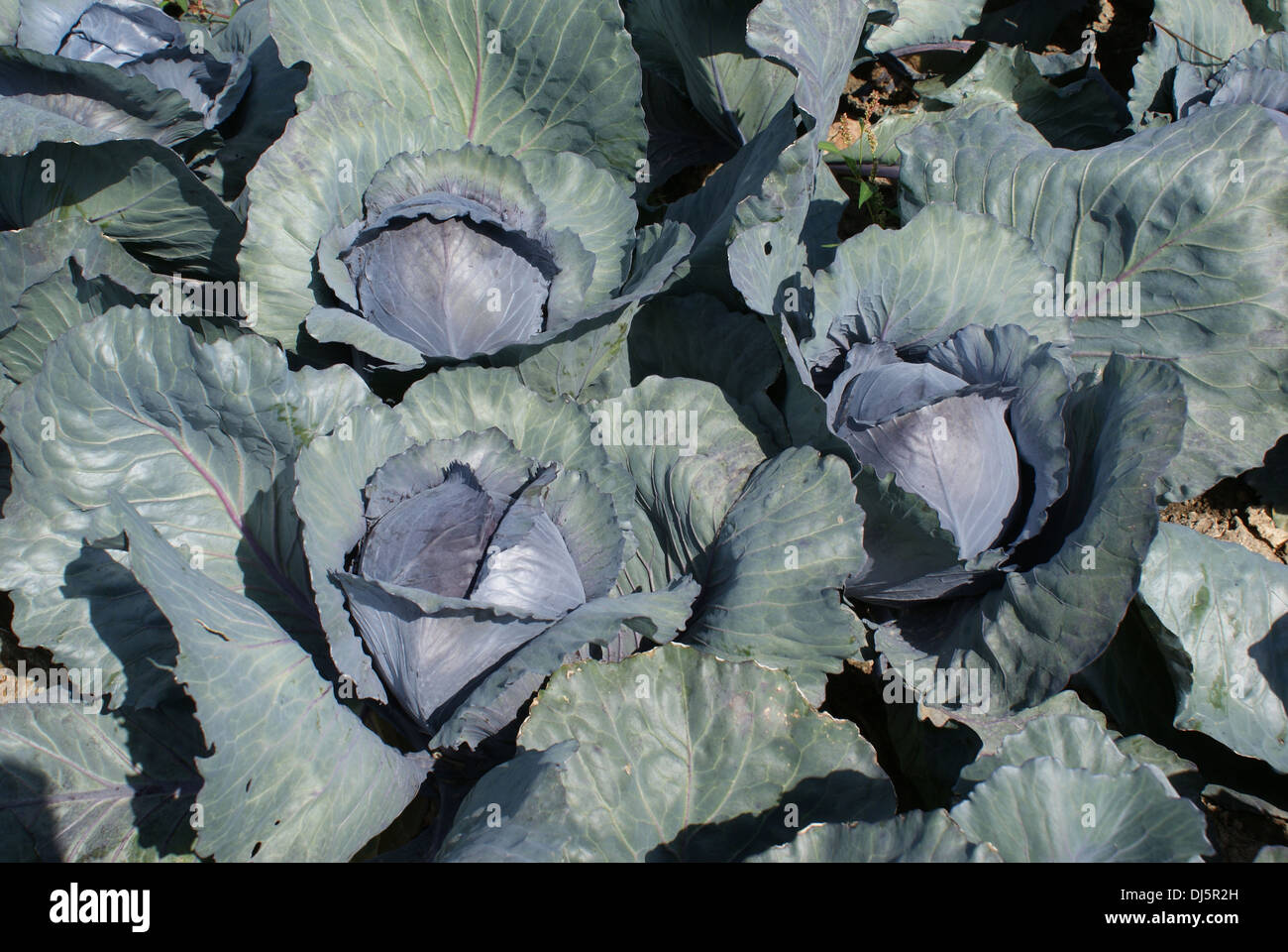 Red cabbage - Stock Image
