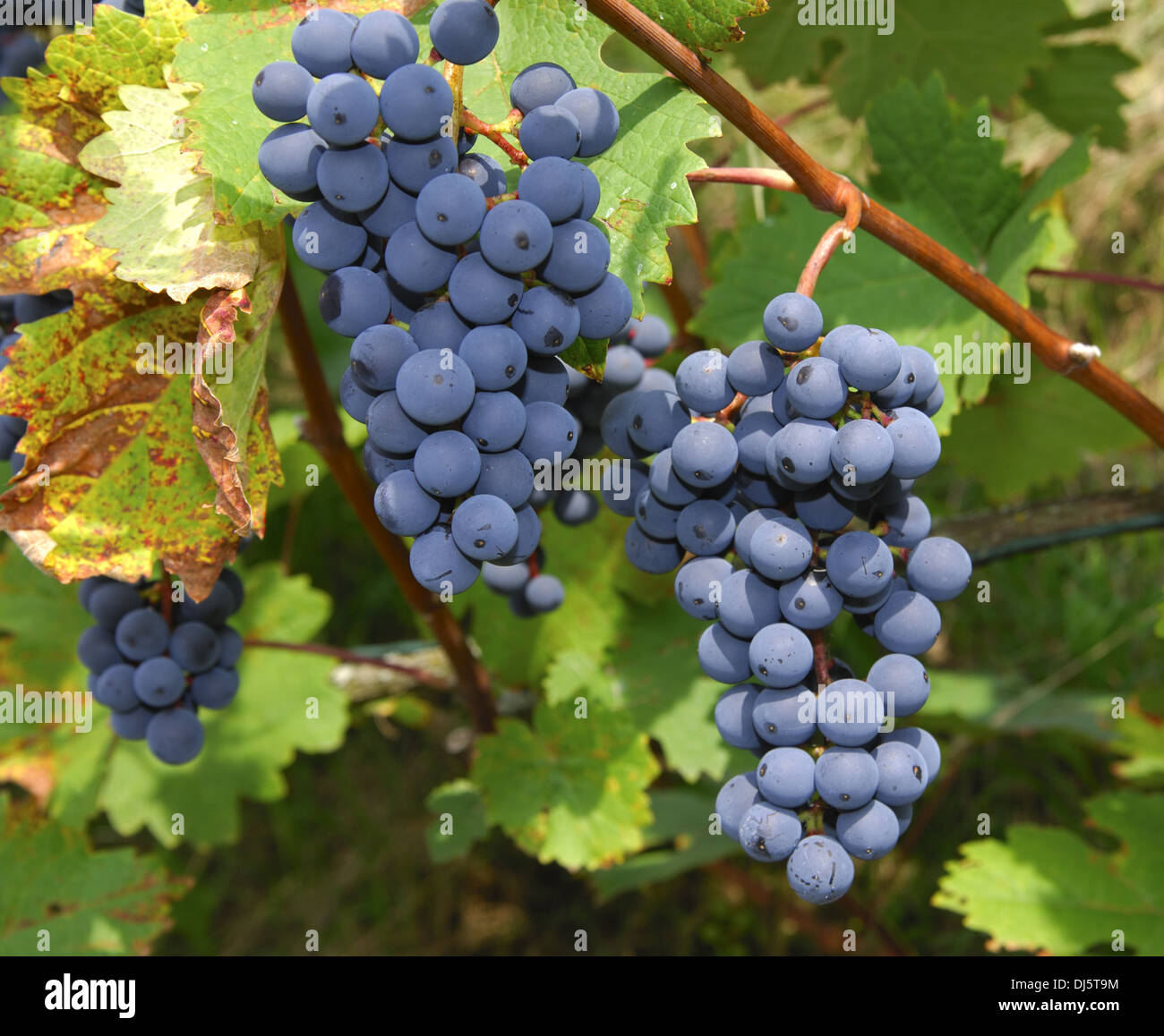 Blue grapes Stock Photo