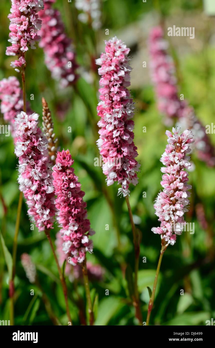 Fleece Flower Or Knotweed Persicaria Affinis Or Polygoum Affine In