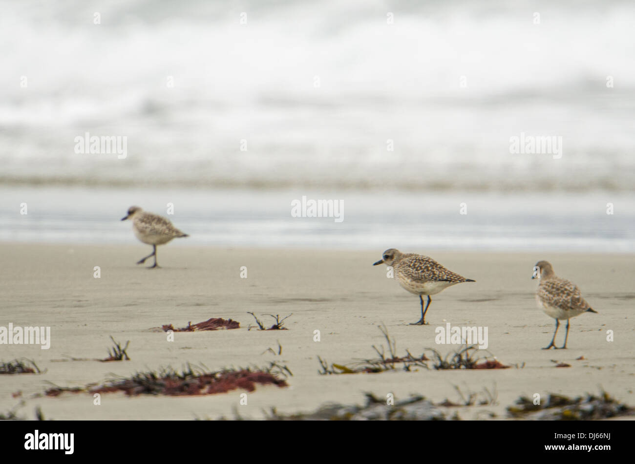 Knots (Calidris canutus), wading birds, feeding by the tide line near the Nare Headland; natural patterns, Cornwall, winter. - Stock Image