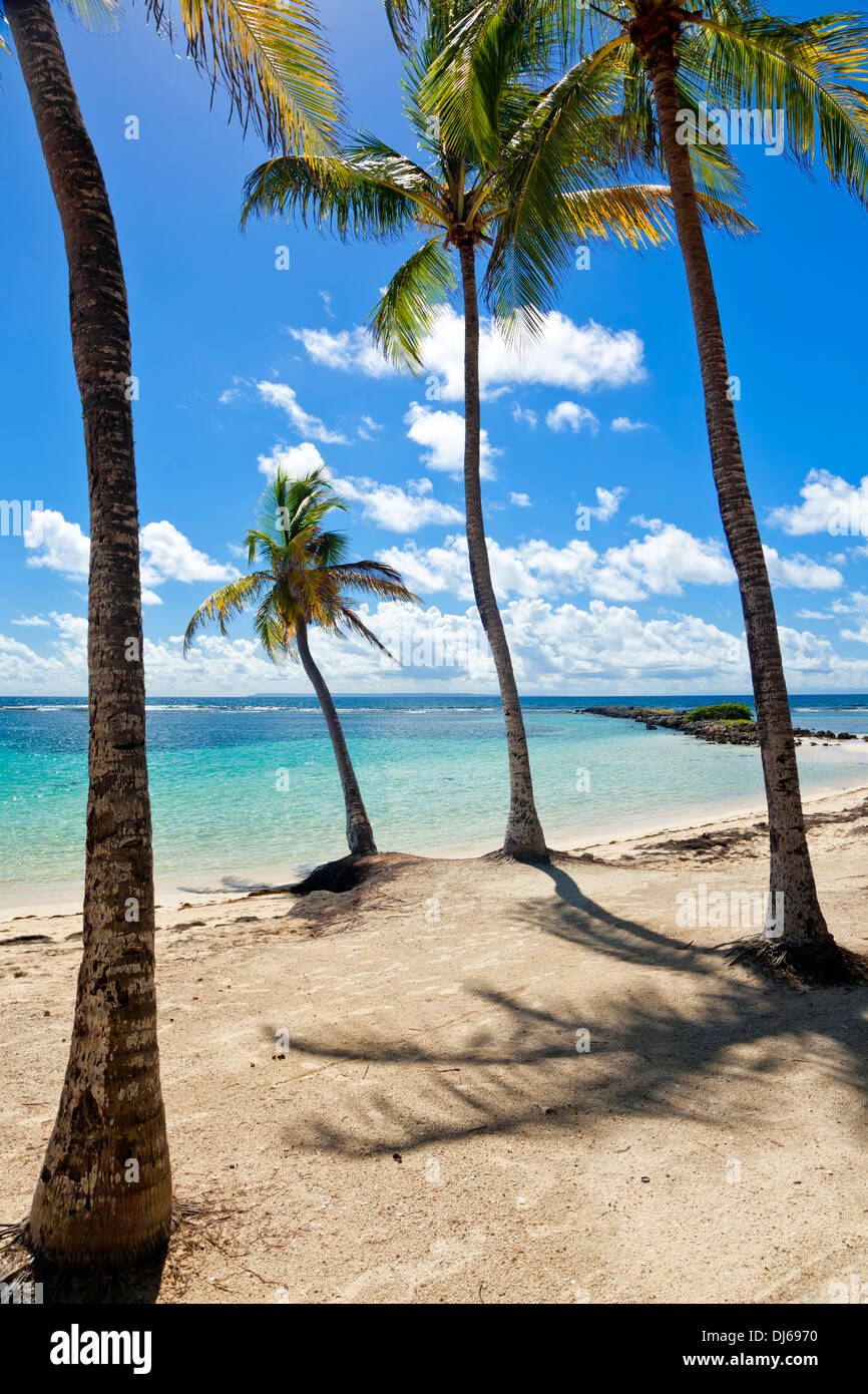 Palm trees on tropical beach, Guadeloupe - Stock Image