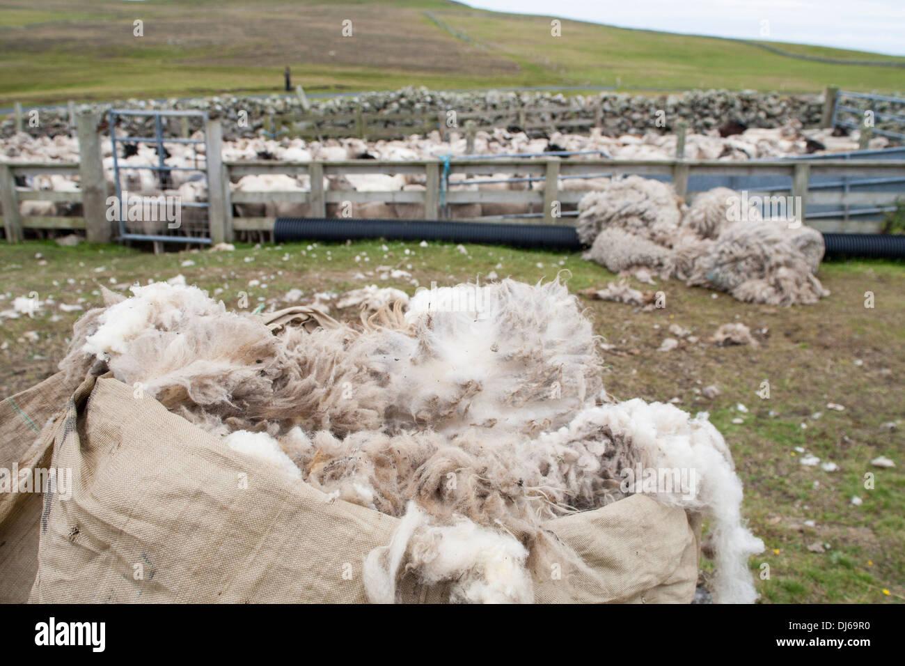 Sack of sheep wool and sheep in holding pen, Fair Isle, Shetland - Stock Image