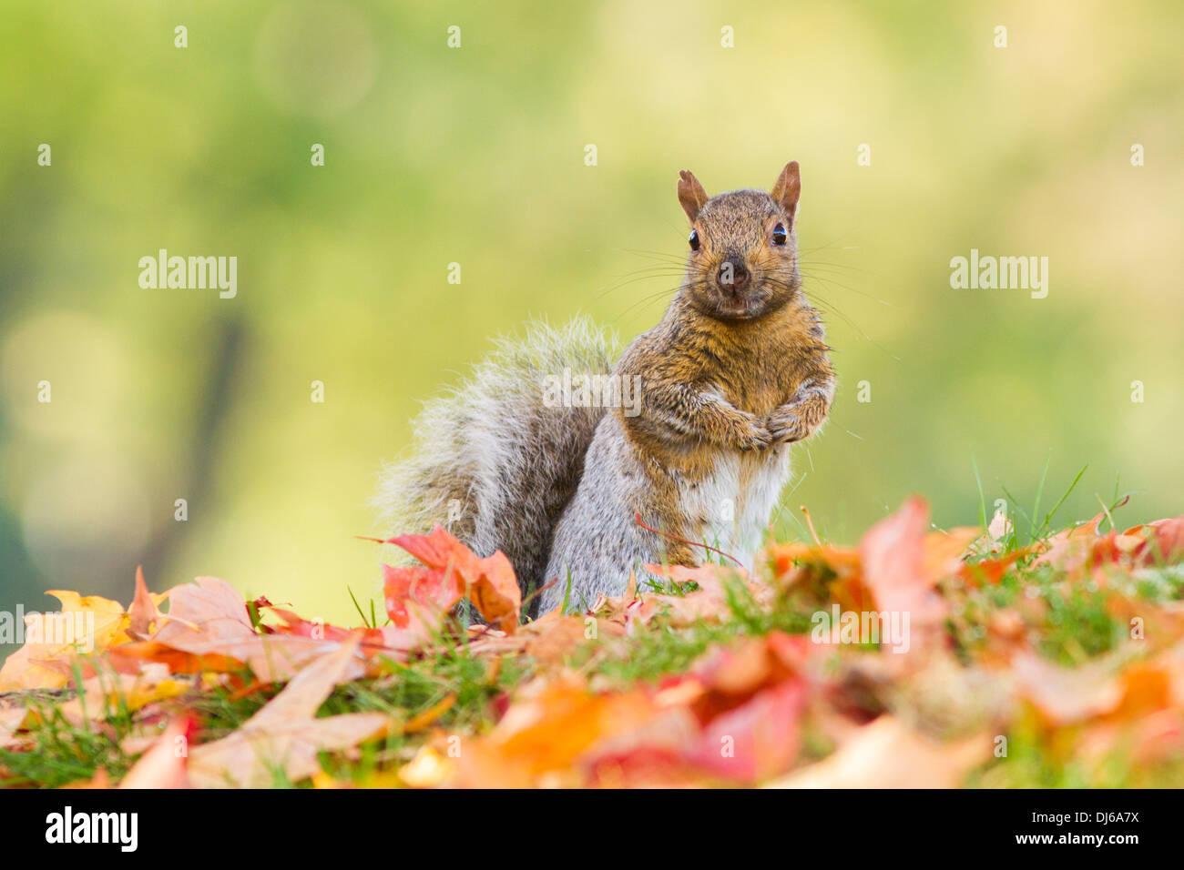 Gray squirrel (Sciurus carolinensis) in autumn. - Stock Image