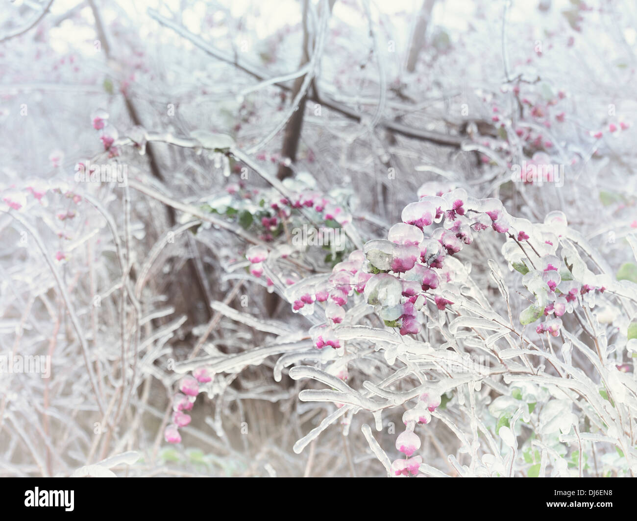 Covered with ice shrub branches and berries, abstract closeup frozen nature scenery - Stock Image