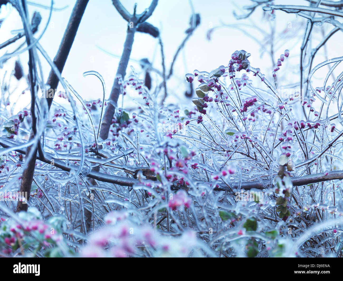 Frozen, covered with ice branches of plants and shrubs with pink berries. Artistic abstract nature scenery. - Stock Image