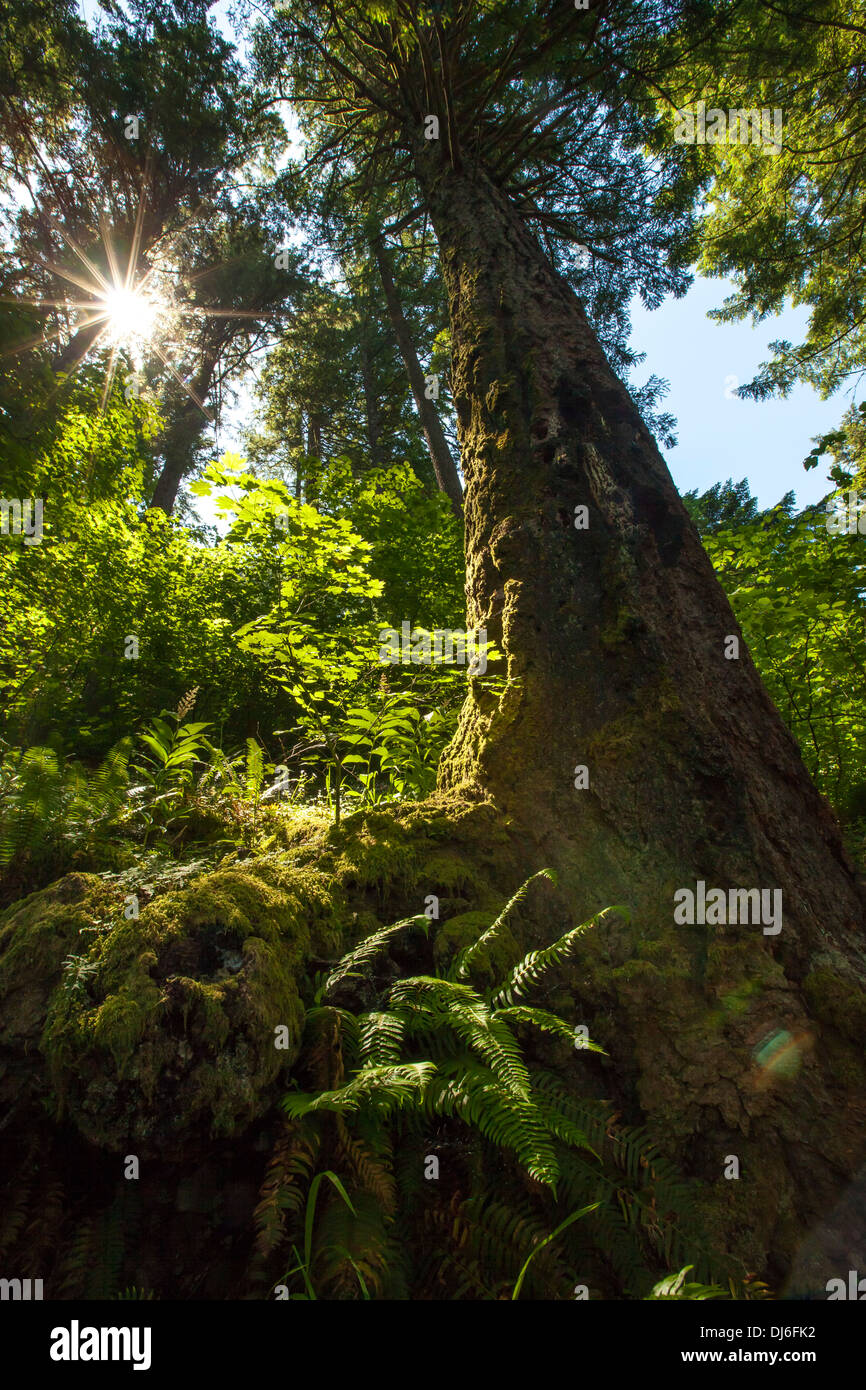 Pacific Northwest Forrest - Stock Image