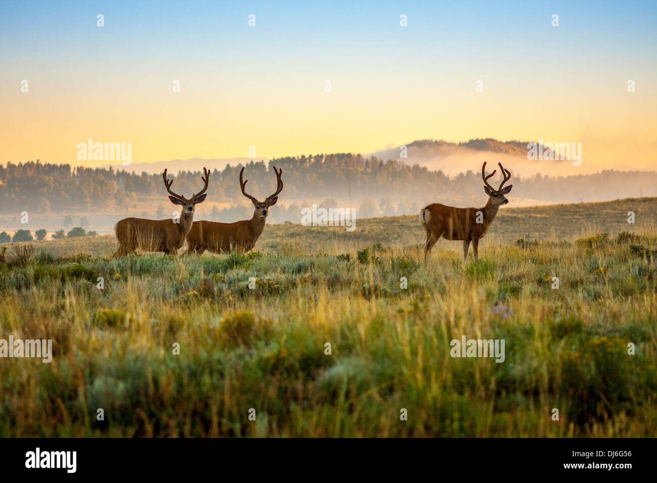 Bucks in the Valley - Stock Image
