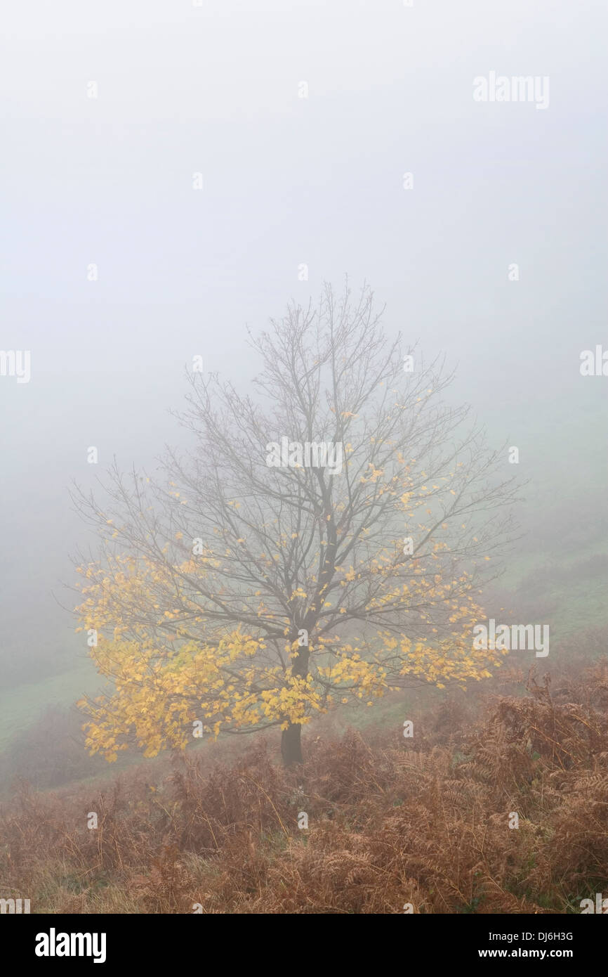 A maple with yellow leaves is shrouded in fog on the side of British Camp on the Malvern Hills, Worcestershire. Stock Photo