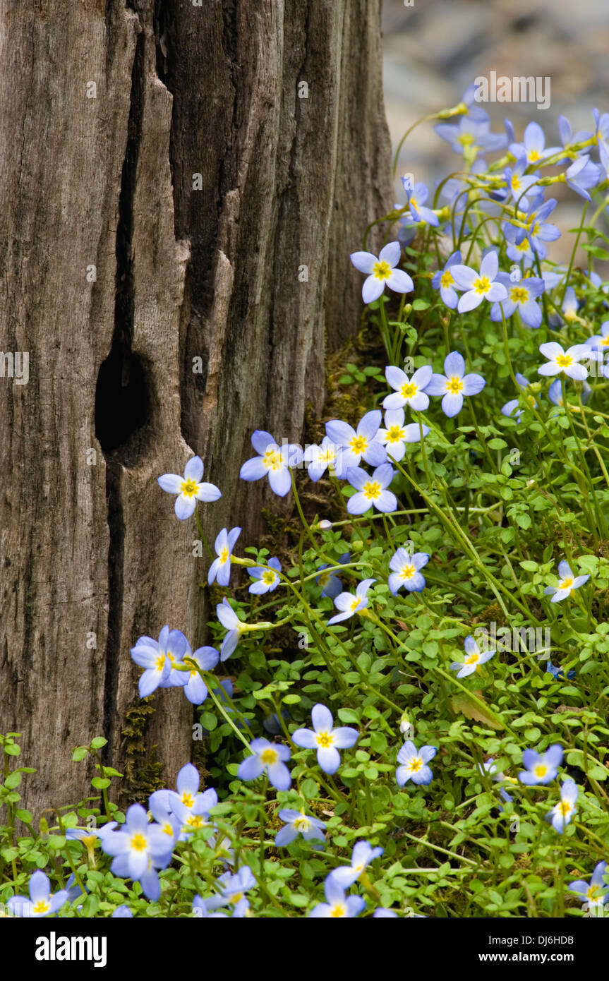 Thyme-leaved Bluets Blooming nest to and Old Tree Stump - Stock Image