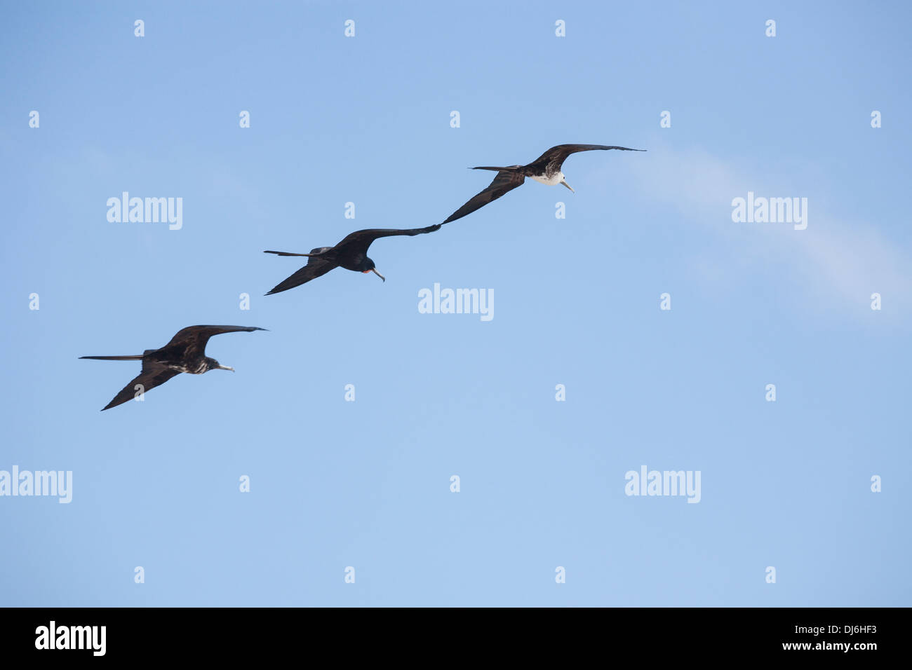 Three Magnificent Frigatebirds flying in formation. A male and two juvenile birds fly wing to wing. - Stock Image