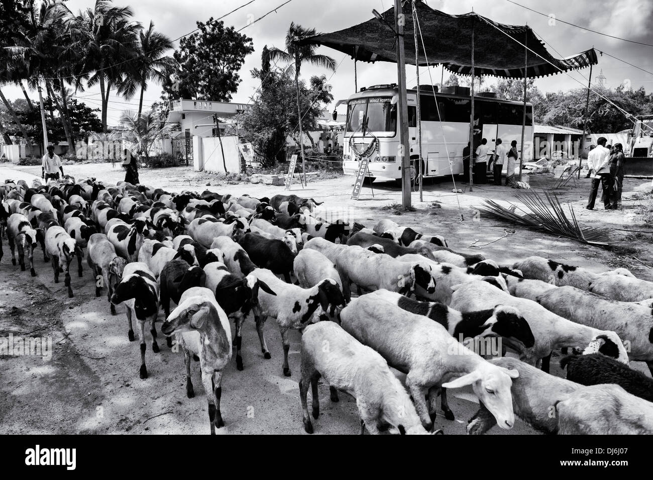 Herd of goats walking past the Sri Sathya Sai Baba mobile outreach hospital bus in a rural Indian village. Andhra Pradesh, India - Stock Image