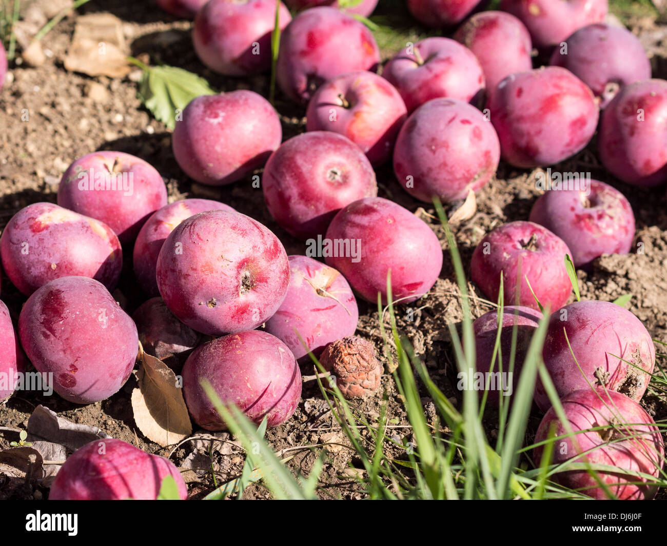 Windfall apples littering the ground. Apples shaken to the ground after a windy day. Good for cider. - Stock Image