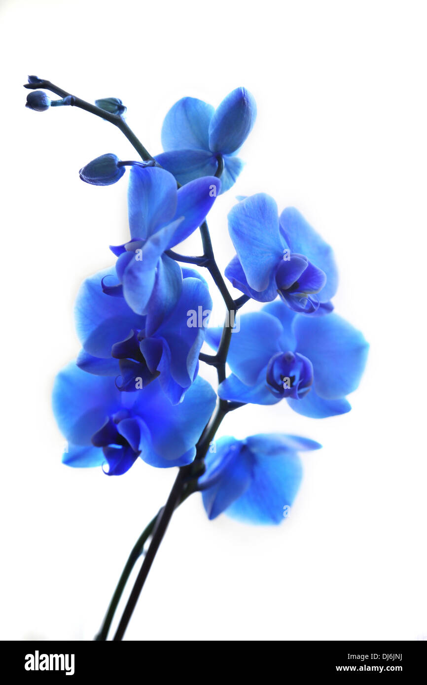 Royal Blue Orchid - Stock Image