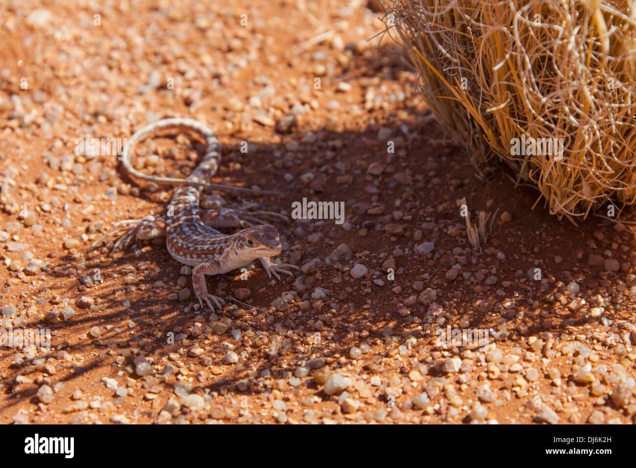 Gecko Next To Legendary Namibian Road D707; Namibia - Stock Image