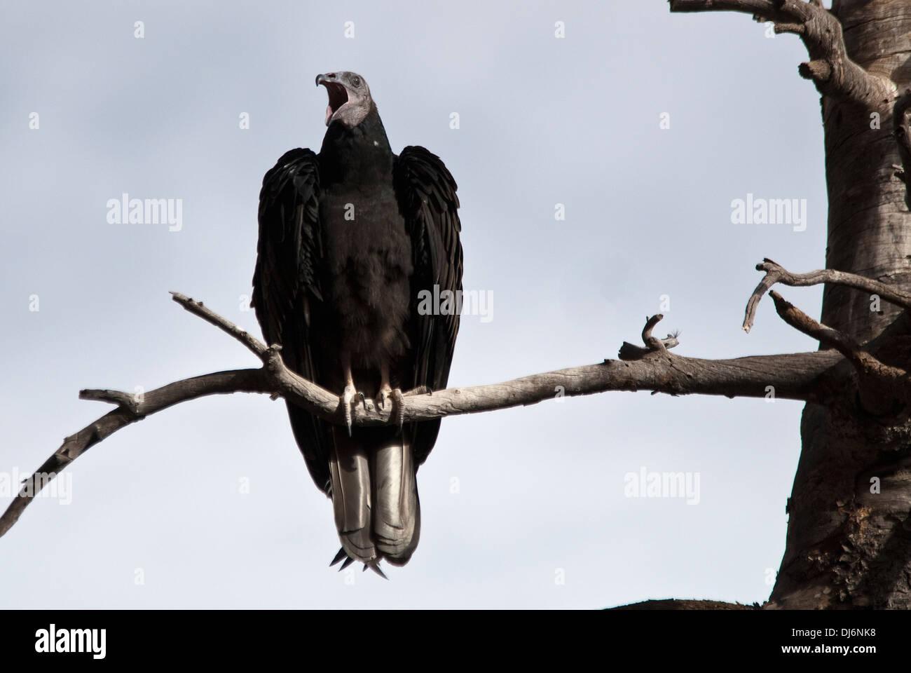Turkey Vulture Cathartes aura Natural Bridges National Monument Utah USA - Stock Image
